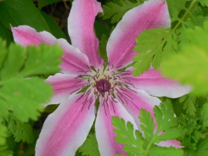 Photo of clematis flower